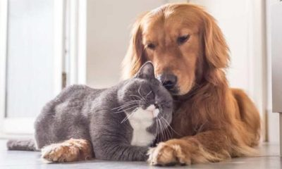 Evcil Hayvanlar Coronavirüs Bulaştırıyor mu?