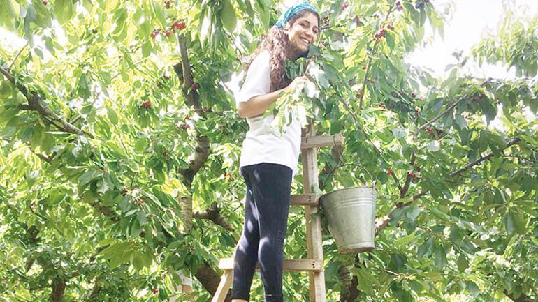 Gönüllüler bahçeye daldı, dalda kiraz kalmadı