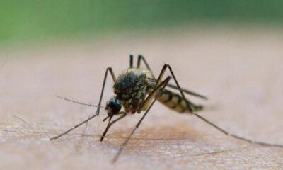 Genetiği değiştirilmiş 750 milyon sivrisinek doğaya bırakılacak
