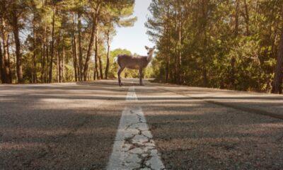 Estonya'daki yapay zeka, hayvanlar için yollardaki hız sınırını düşürüyor